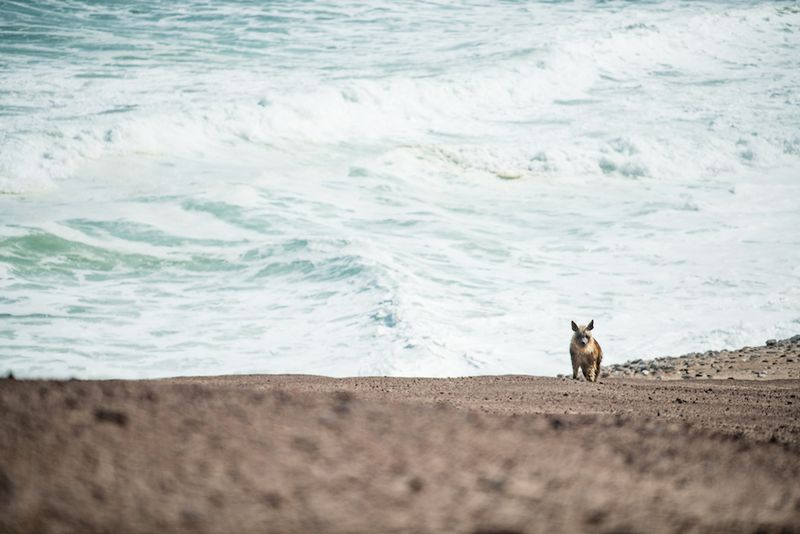 hk_c_41Shipwreck Lodge - Brown hyena_800px.jpg